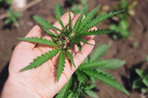Read more about the article How Long Does Weed Take To Grow?